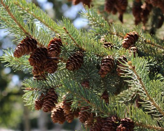 arboretum in summer, pinecones on a branch