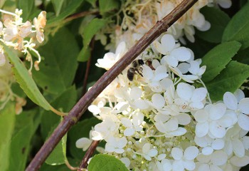 arboretum in summer, close-up photo of cluster of white flowers