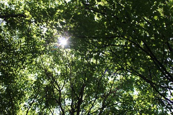 arboretum in summer, tree canopy looking up towards sun