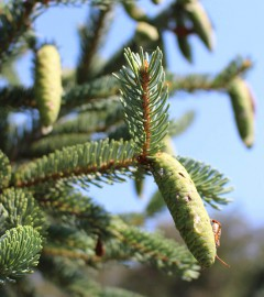 arboretum in summer, close-up on an evergreen tree