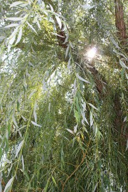 arboretum in summer, close-up of the weeping willow tree
