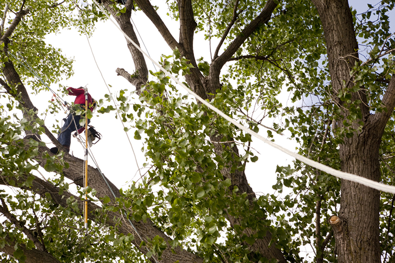 tree maintenance services, A tree-trimming employee hangs from a tree while trimming.
