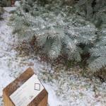 TRE_Arboretum, winter_Blue Spruce