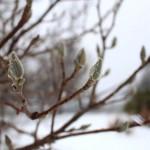 TRE_Arboretum, winter_Branch bud