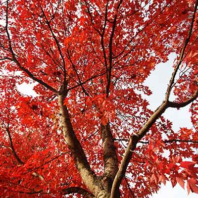 TRE_Best Types to Plant_red oak