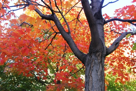 TRE_Best Types to Plant_sugar maple