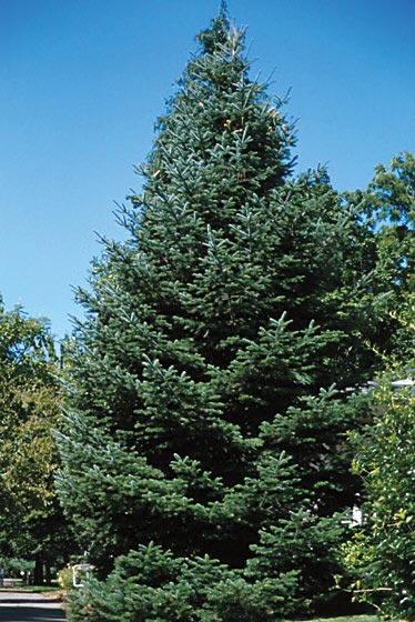TRE_Best Types to Plant_white fir