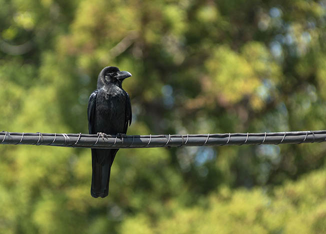 56496189 – the crow which stops on an electric wire