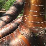 OPPD arboretum, Amur Chokecherry, bronze beauty