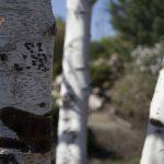 OPPD arboretum, Birch beauty