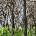 OPPD arboretum, cardinal