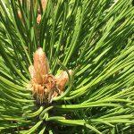 OPPD arboretum, future pine cones