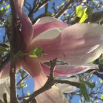 OPPD arboretum, lone Magnolia