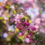 OPPD arboretum, pink blossoms