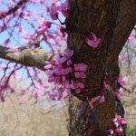 OPPD arboretum, redbud