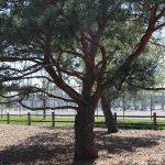 OPPD arboretum, tree