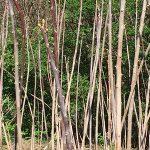 OPPD arboretum, tree stalks