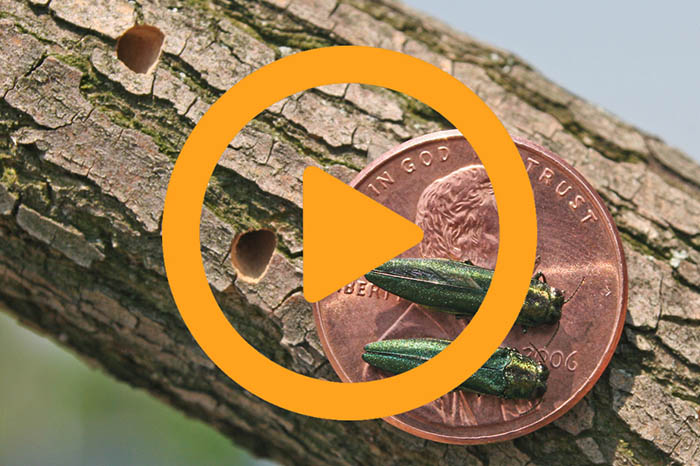 Video: Injection process to treat EAB
