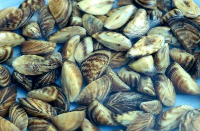 Protecting waterways from zebra mussels