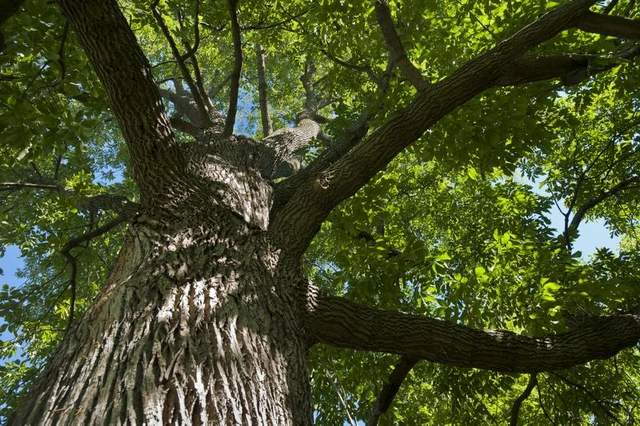 Now is time to protect ash trees from EAB