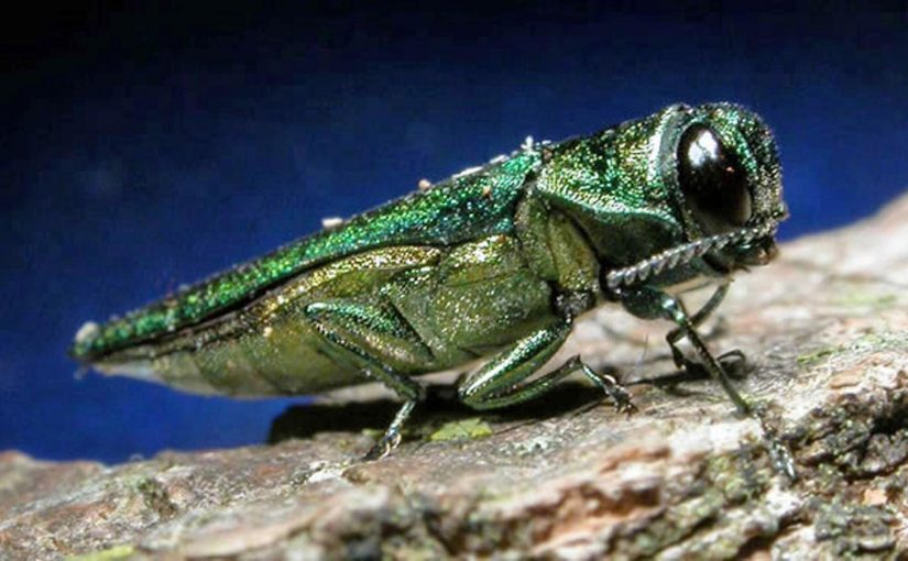 Treat trees for emerald ash borer now. Here's how.