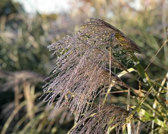 COLORS_Tassle Grass_Laura