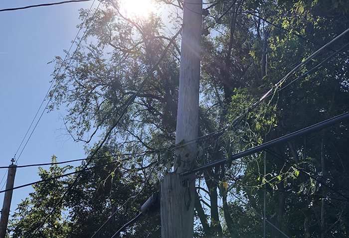 utility forester, example of a tree growing into power lines