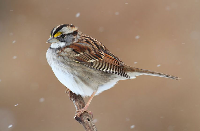 Great Backyard Bird Count, White-throated Sparrow (zonotrichia albicollis) perched on a tree limb in falling snow