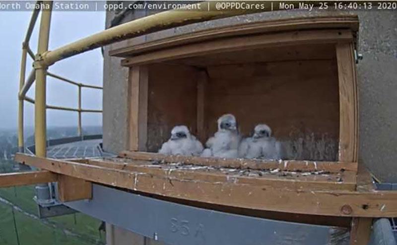 ENV_NOS Falcon Banding_Chick headshots_05252020