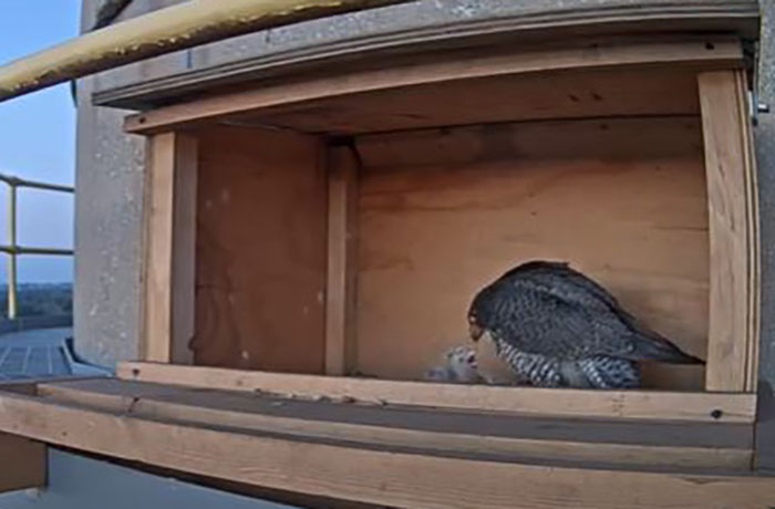 peregrine falcon chicks, the mother falcon feeds three chicks on May 8, 2020