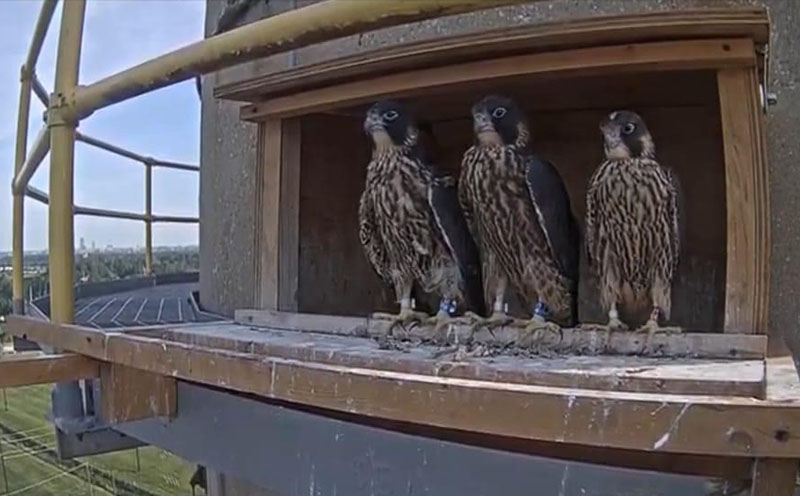 Image of three, young peregrine falcons in the OPPD falcon box in June, 2020.