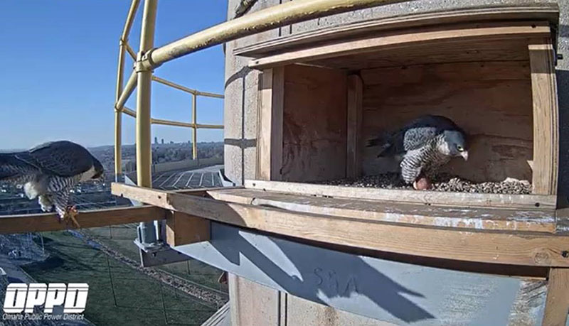 Lewis, at left, briefly stops by the box on April 1, 2021 to check on Clark and the two eggs.