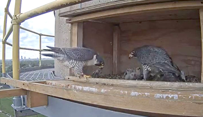 Lewis, at left, brings some lunch to his new brood on May 10, 2021. The two adults are busy keeping their four new peregrine falcon chicks fed.