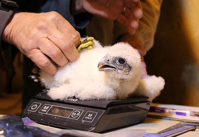 ENV_Banding Chicks_weighing