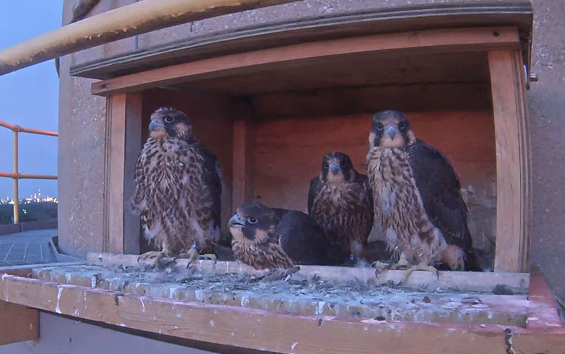 Four young peregrine falcons in the box at OPPD's North Omaha Station power plant
