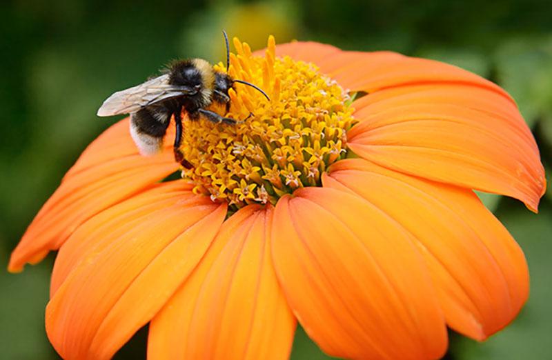 bumblebee on an orange flower pollinator program